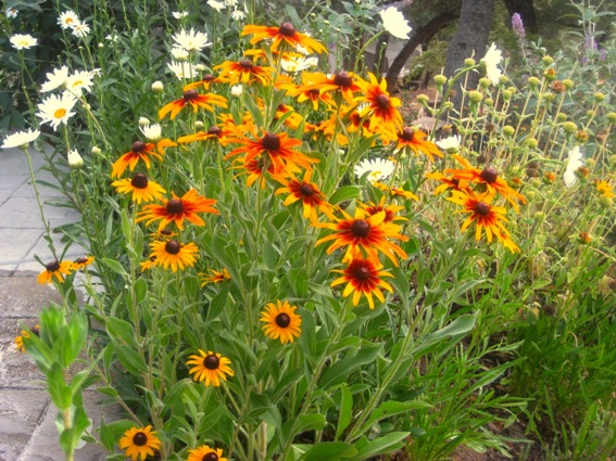 Black-eyed Susans, or Rudbeckia hirta shown here. There are many varieties and all attract butterflies!