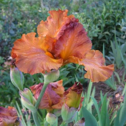 Sue Langley's  Iris 'Golden Panther' one of the iris I 'picked' at the iris farm.  It's a reblooming variety and blooms in Fall as well as Spring!