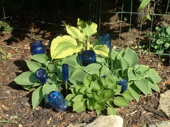 Diana's Hosta and blue