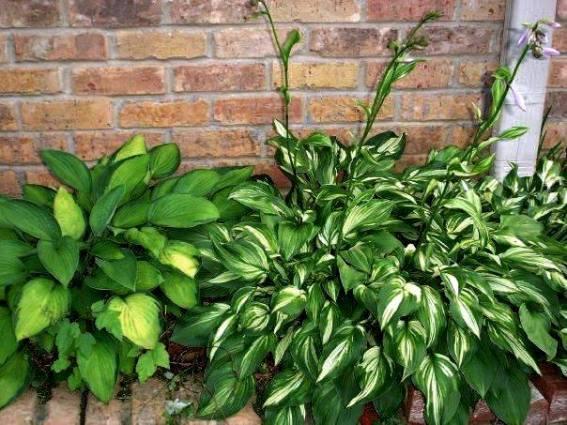 Shirley Martin's hosta blooms