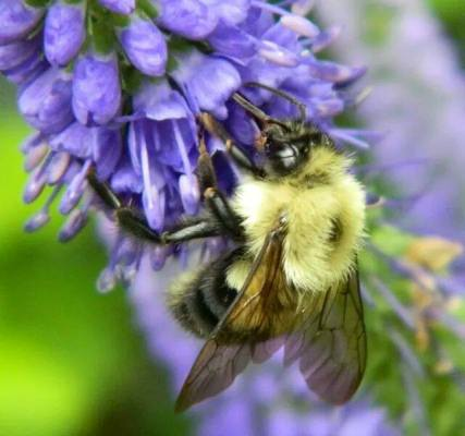 Fuzziness of a bee shows up when photographed