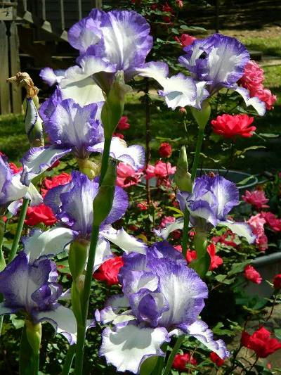 Lovely iris, white with periwinkle edges