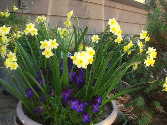 Mini daffs and pansies bloom