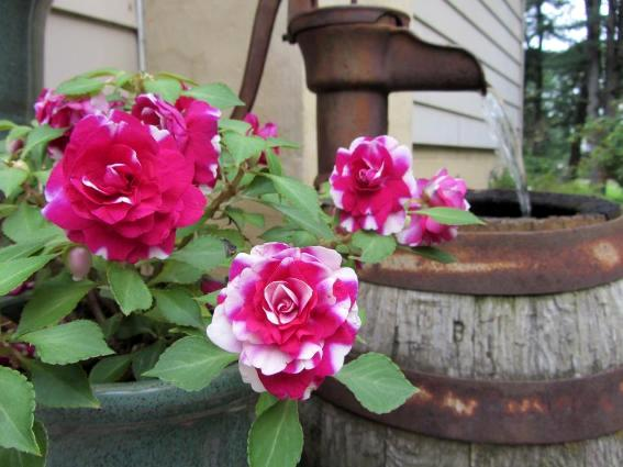 George Weaver's rust and roses