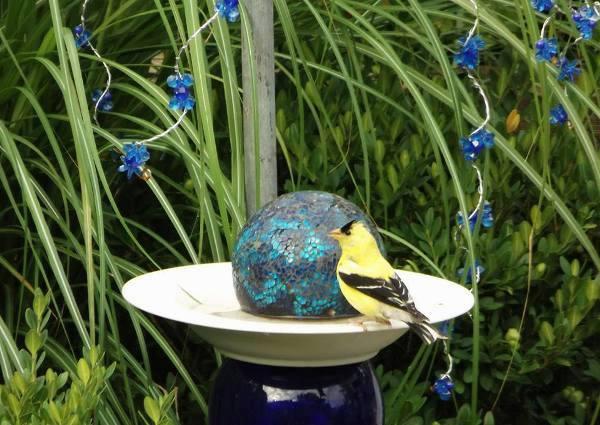 Linda Gladman' blues in the garden