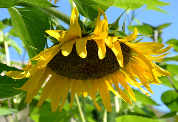 Large head of a sunflower filled with seeds