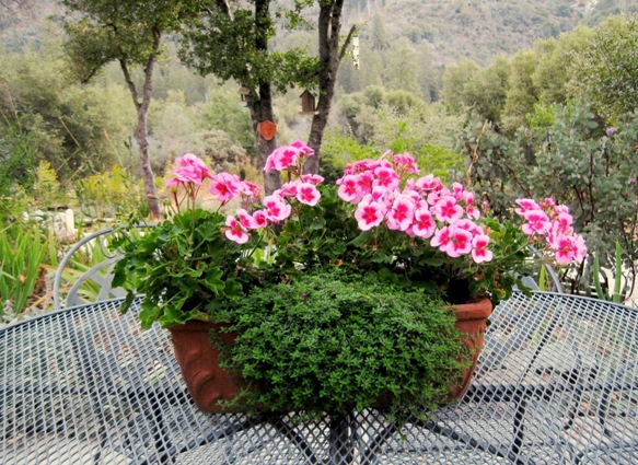 An 'all summer' geraniums have filled this trough for years, centered on my patio table