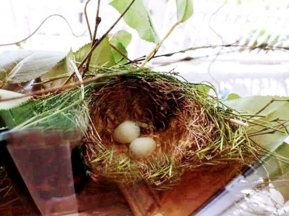 Wanda Clark's purple finch nest