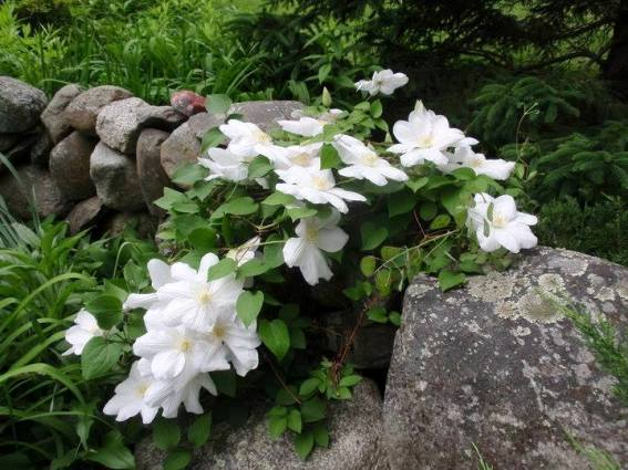 Cherrie Carine's pure white 'Henryii'
