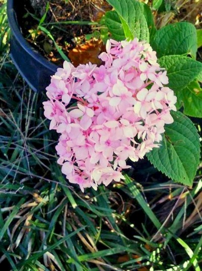 Jan Brown's pink hydrangea blooms late
