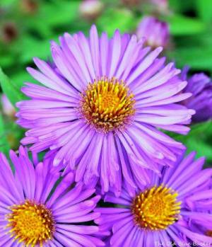 The Old Blue Bucket- My Fall Asters always add such vivid color to my gardens