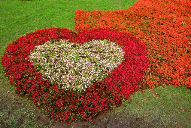 Charming heart shape designusing bedding begonias in the garden