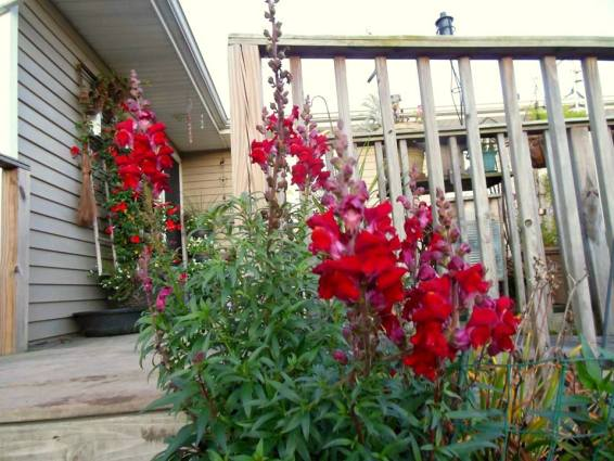My Red Rocket Snapdragons are still blooming
