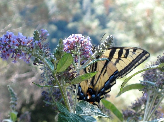 Plant buddleias and other butterfly attractors