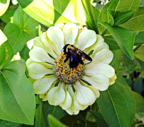 Linda Gladman's bee on a Zinnia
