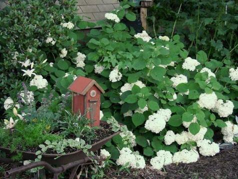 Jeanne Sammons's pearly white Hydrangea