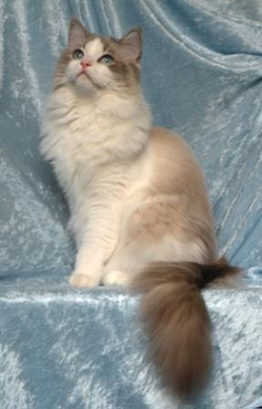 Raina Blue Lynx Bicolor owned by Alissa