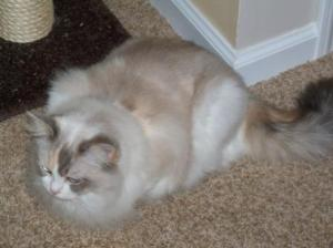 Annabella, a seal flame bicolor torbie, owned by Brita Pingry