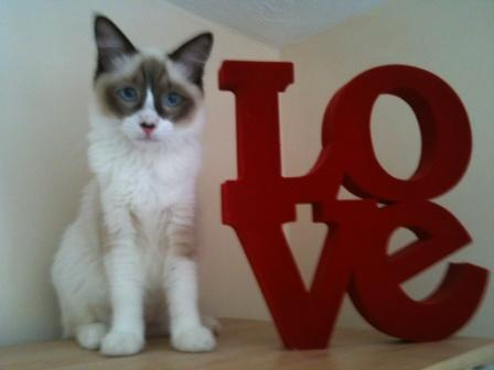 Our 9 month old seal bi ragdoll called bailey. Owned by Ste and Fi.