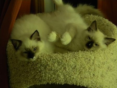 Double Trouble - Cesare (Chez-a-ray) a blaze and seal mitted kitten, and his brother, Nari, a seal mitted kitten