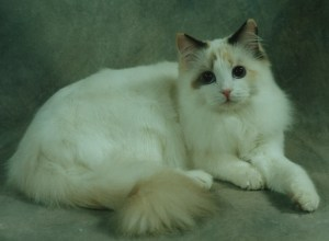 Glory, a chocolate tortie bicolor owned by Lonerock Ragdolls, Sue Villareal