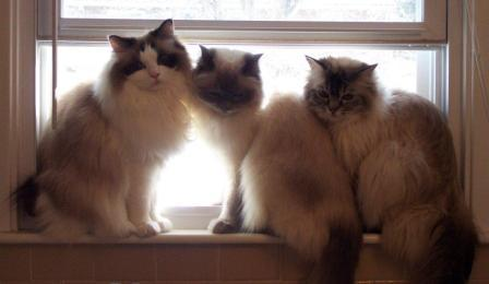 Seal Bi-color Ragdoll Zoe, Blue Point Ragdoll Shale and Seal Lynx Ragdoll enjoy the first open window last spring. They live with Pam Kennedy.