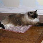 Pandora – Ragdoll of the Week