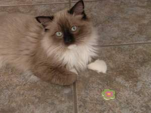 Gary, a Mink Seal Point Mitted Ragdoll Cat