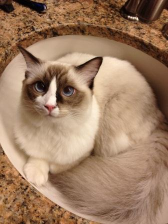 Babsi is a seal mitted bicolor girl Owned and Cherished by Barbie Heinen!