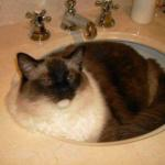 Pictures of Ragdoll Cats in Sinks