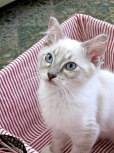 Django - a Blue Lynx Mitted Ragdoll Kitten