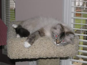 Baby Doll (Seal Lynx Mitted)