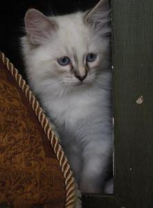 Little Apple Ragdolls Kitten