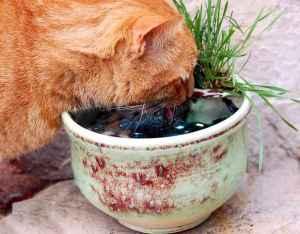 Bijou drinking from Keith's cat fountain