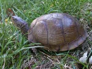 The Three Toed Eastern Turtle