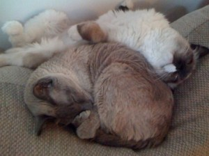 Karma, a 13-year Old Siamese and Lucy