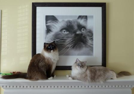 My Ragdoll Cats - Charlie, Rags (RIP) and Trigg