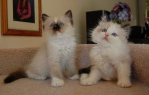 Amy and Bently from USA Purrs