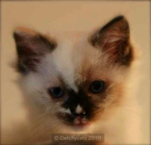 Cwtchycats Zahra a Seal Tortie Mitted Girl