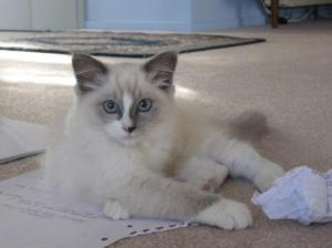 Bella as a Ragdoll Kitten
