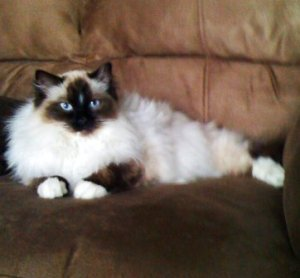 Hank, a Seal Mitted Ragdoll with a Blaze