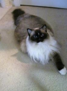 Jasmine - a Seal Mitted Ragdoll with a blaze