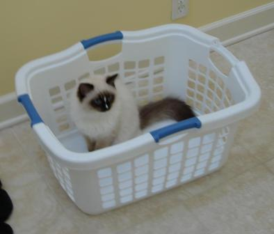 Charlie in a Laundry Basket