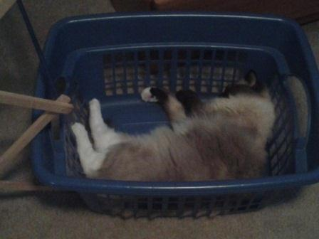 15 month old Ollie napping in the laundry basket loved by Jenn