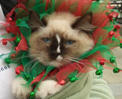 Murphy as a kitten Christmas
