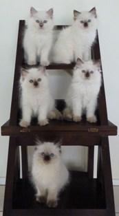 CherishMe Ragdolls Kittens