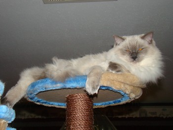 Cookie on the Kitty Mansions Amazon Cat Tree