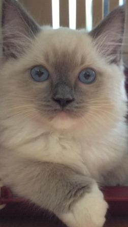 Blue Ragdoll Kitten of the Month December 2012