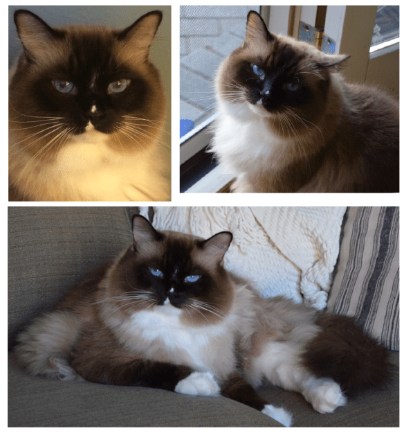 Seal Mitted Ragdoll Cat with a Blaze - Oliver