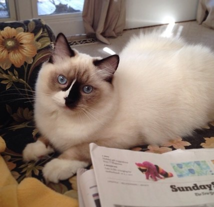 Lucky is a 6 and a half month old seal mitted blaze. Loved by Barbee in Nashville.